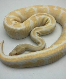 Female Albino Royal Python CB18