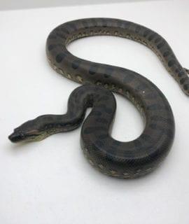 Male Green Anaconda CB19