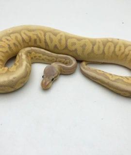 Male Banana Pewter Pastel Royal Python CB20