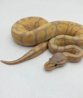 Male Pastel Banana Royal Python CB20
