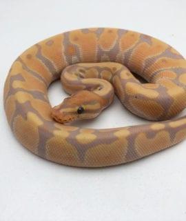 Male Banana Royal Python CB20