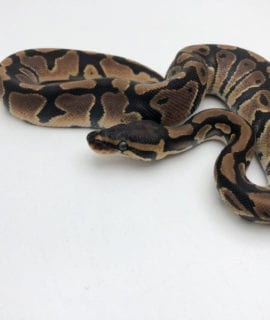 Male Classic double het Axanthic/Pied Royal Python CB20 2