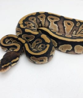 Male Classic double het Axanthic/Pied Royal Python CB20
