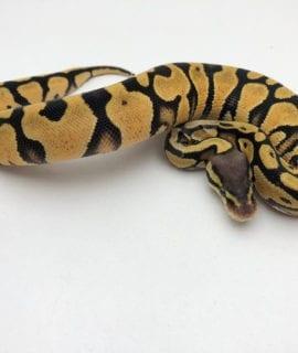 Female Pastel Royal Python CB20