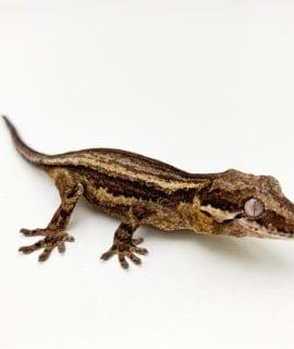 Black and White Stripe Gargoyle Gecko CB20