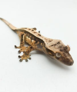 Dalmatian Extreme Pinstripe Crested Gecko CB20