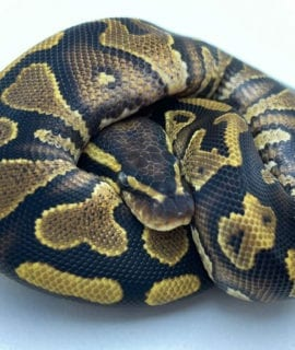 Male Yellowbelly het Pied Royal Python CB20
