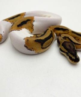 Female Pied Royal Python CB20