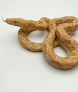 Female White Albino Mainland Reticulated Python CB20