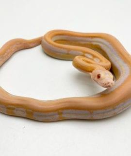 Female White Albino Supertiger Mainland Reticulated Python CB20