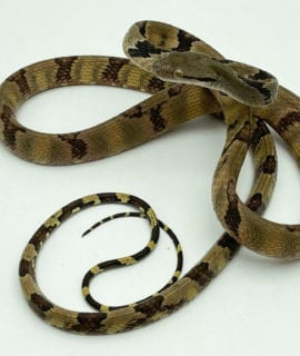 Male White Spotted Cat Snake WC