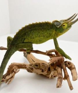 Male Yellow Crested Jacksons Chameleon CF