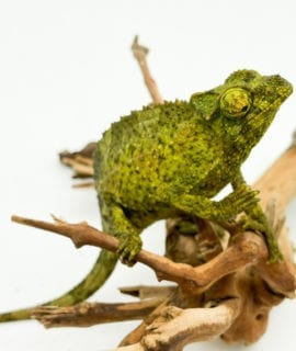 Female Yellow Crested Jackson's Chameleon CF