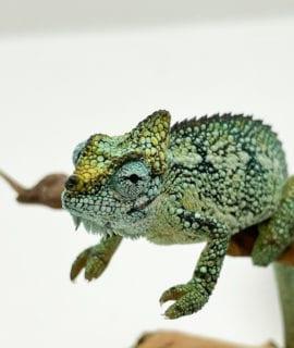 Male High Casqued Chameleon CF