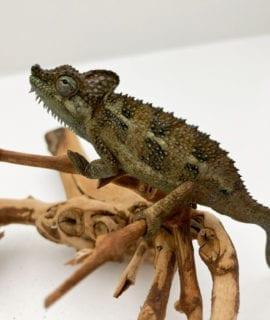 Female High Casqued Chameleon CF