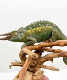 Male Jackson's Chameleon CF