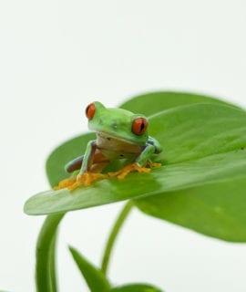 Red Eye Tree Frog CB