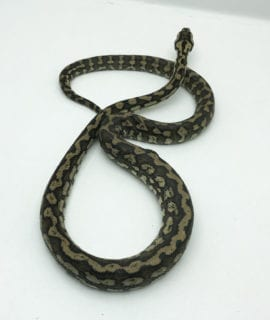 Male Costal Carpet Python CB20