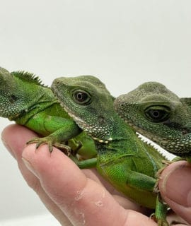 Chinese Water Dragon Juvenile CF20
