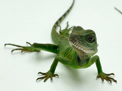 Our Chinese Water Dragon Care Sheet