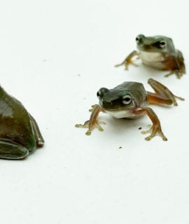 Whites Tree Frog CB 5-8cm
