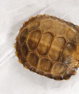 Burmese Brown Tortoise (Yellow)