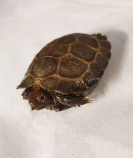 Burmese Brown Tortoise CB20