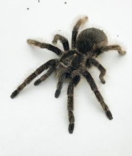 Curly Hair Tarantula 7-10cm