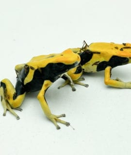 Dyeing Poison Arrow Frog MATECHO CB