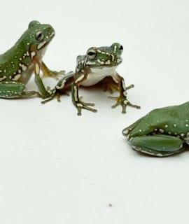Snowflake Whites Tree Frog CB 1-3cm
