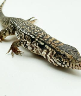 Female High White Red Tegu CB19
