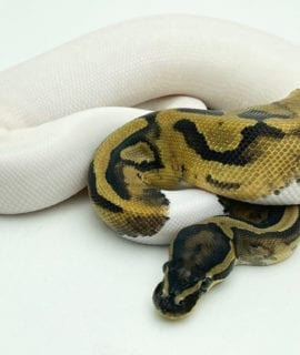 Male Pied 66% het Axanthic Royal Python 270g CB20