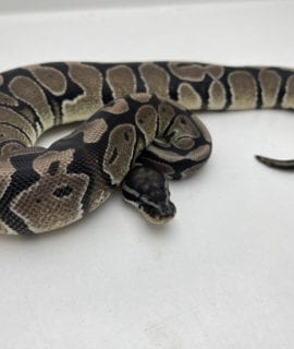 Male Axanthic 66% het Pied Royal Python 325g CB20