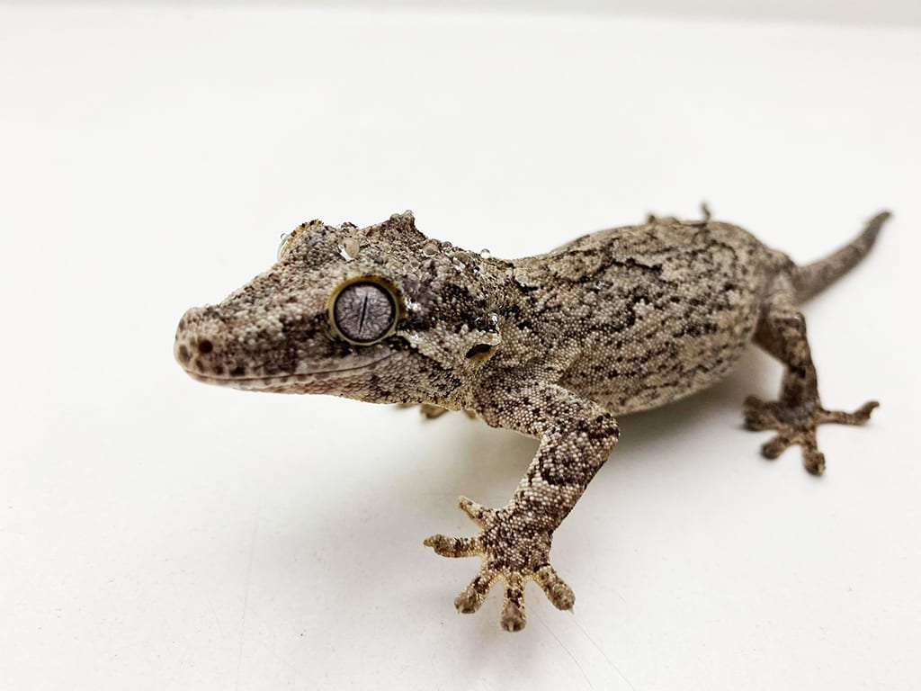 gargoyle gecko care sheet