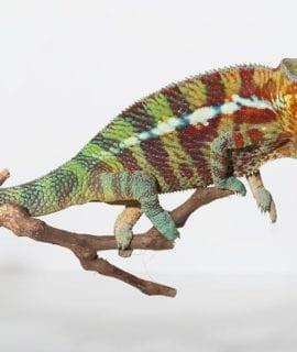 Male Ambilobe Panther Chameleon CB 14Months