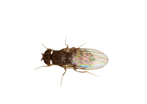 Flightless Fruitfly Drosophila culture