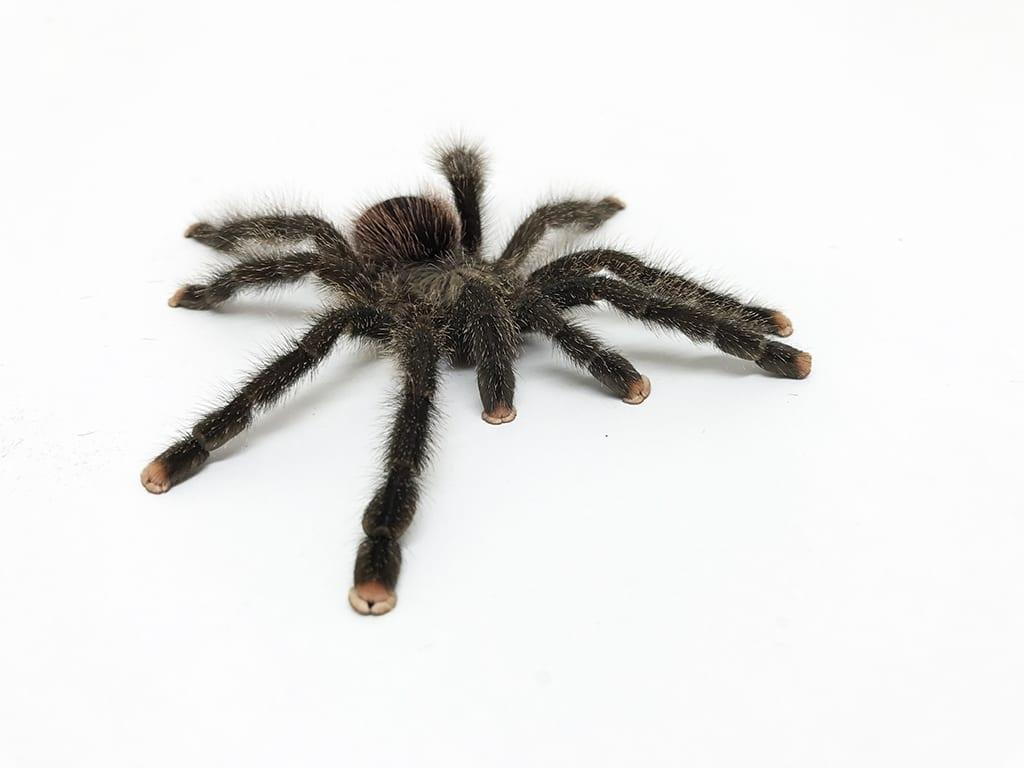 sexing your tarantula