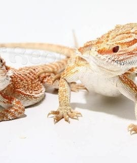 Bearded dragon special morph
