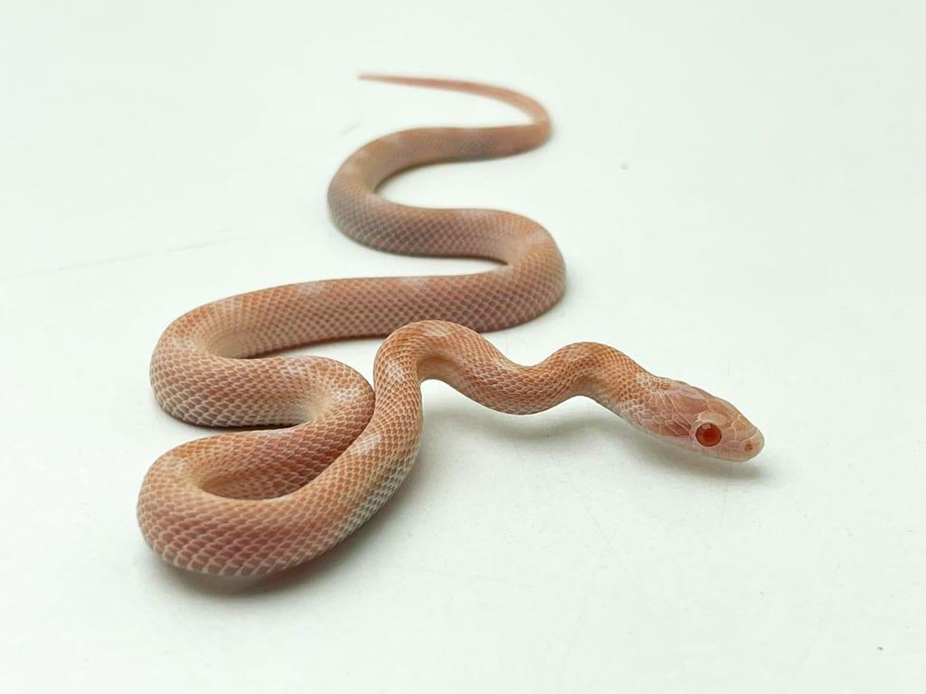 Female Opal Motley Corn Snake CB20