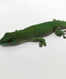 Male Giant Day Gecko CB