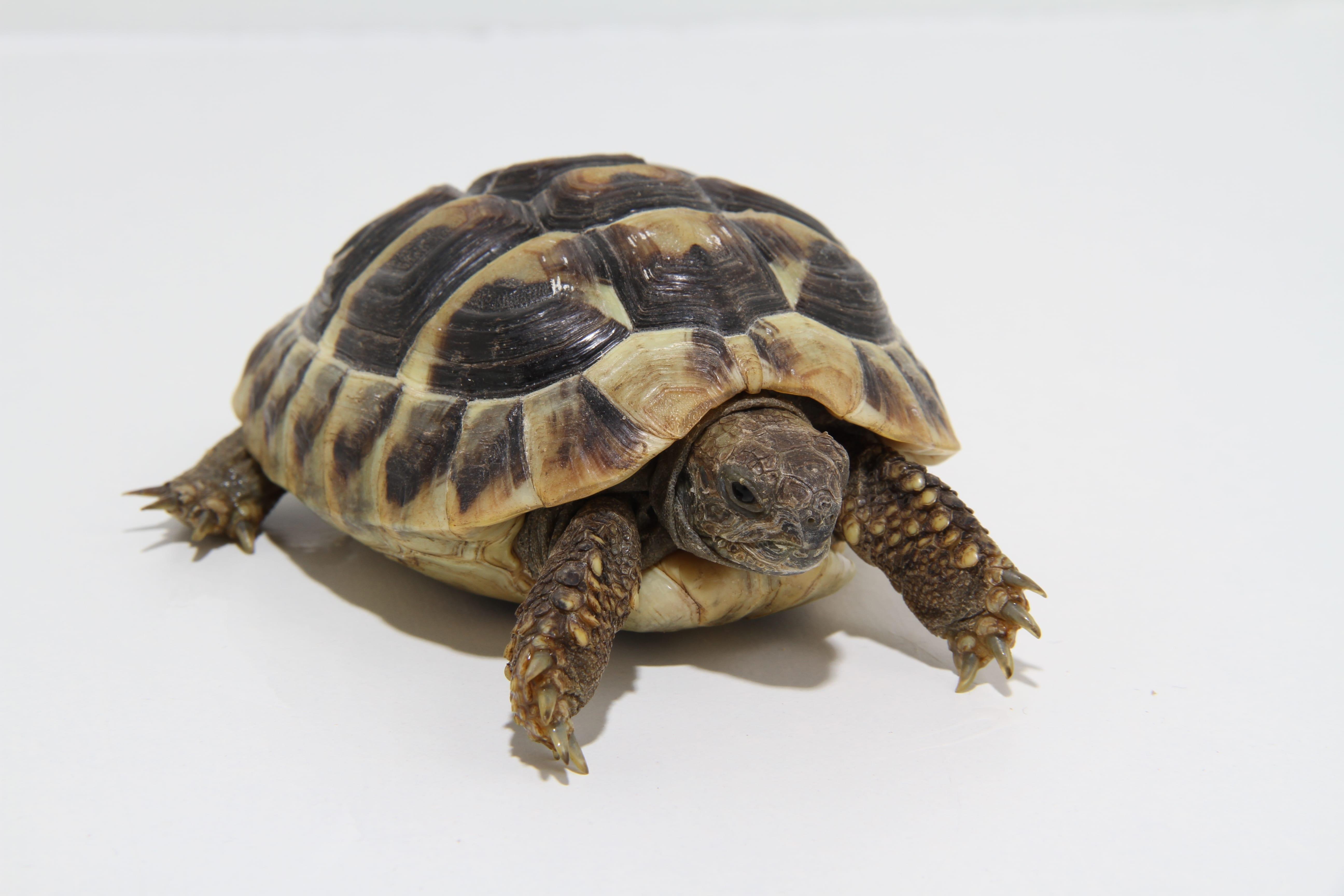 Female Hermann's Tortoise CB15