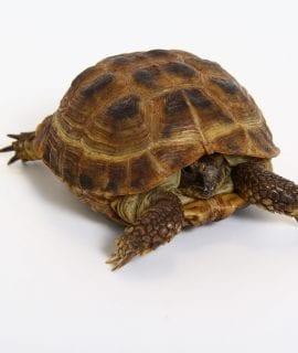 Horsefield Tortoise CB17