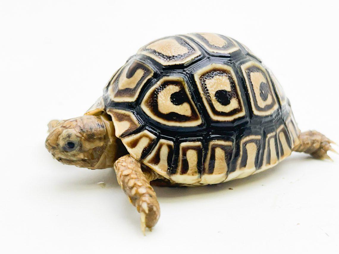 Leopard Tortoise CB20