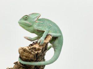 Male Yemen Chameleon CB21