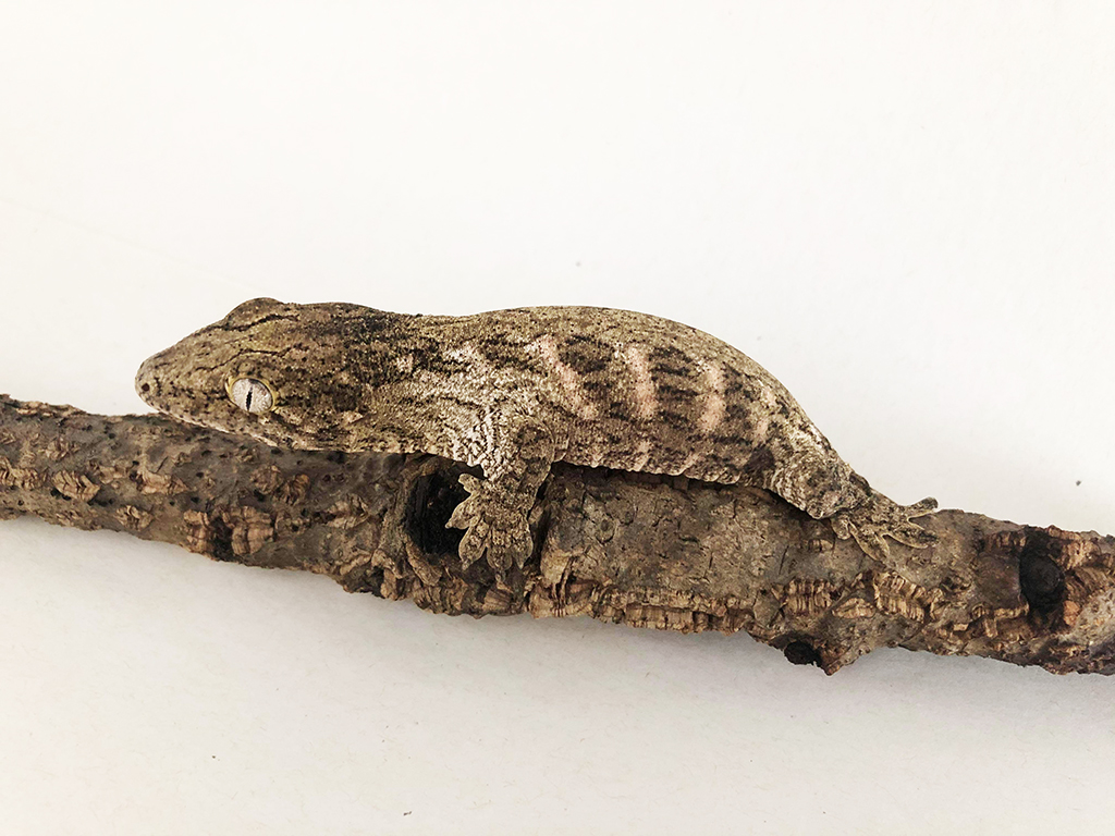 leachianus gecko care