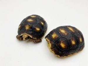 red foot tortoise