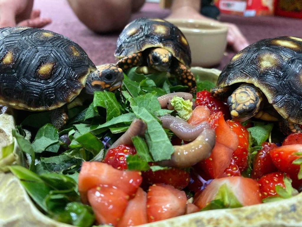 Red foot tortoises