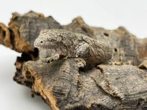 Mt Koghis x Nuu Ami Leachianus Gecko 6g CB21