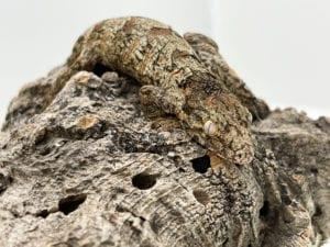 Nuu Ana x Nuu Ana Leachianus Gecko 6g CB21