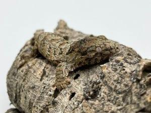 Nuu Ana x Nuu Ana Leachianus Gecko 6g. CB21